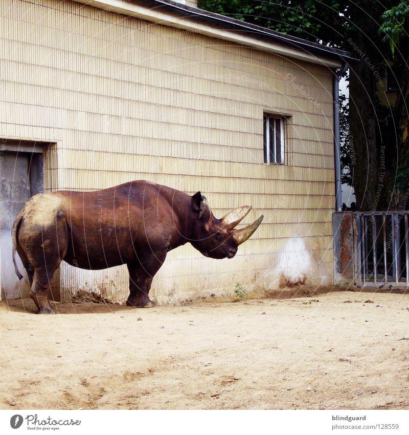 Für Photocase ... Nashorn Breitmaulnashorn Spitzmaulnashorn Einsamkeit Zoo Mauer Savanne Elfenbein Gier Lebensraum gefangen Trauer Waffe Unpaarhufer Zaun Gitter