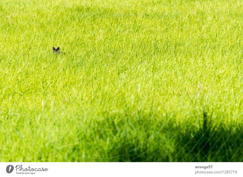 Versteckspiel Sommer Gras Grünpflanze Wiese Tier Haustier Katze 1 klein listig grün schwarz Katzenohr verstecken warten Grasland Jagd Tag Totale Farbfoto