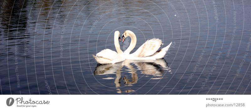 Liebe ist ...! Schwan See Meer Teich Vogel Reflexion & Spiegelung Wasser Fluss Feder Im Wasser treiben Schwimmen & Baden