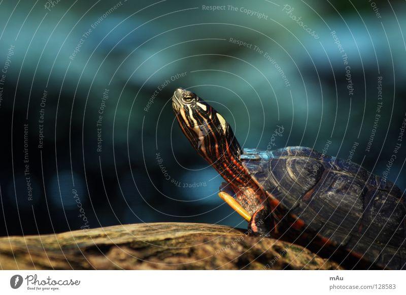 Hans-Guck-in-die-Luft Schildkröte langsam Geborgenheit hart Zoo ruhig Zufriedenheit Ast Natur gepanzert härter am härtesten geht Steil Unschärfe