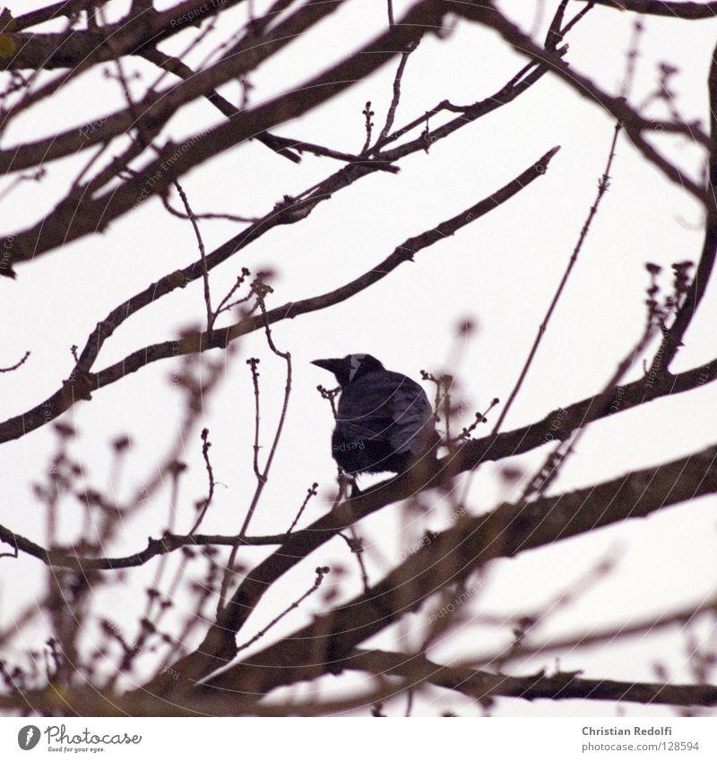 Rabe schwarz Wolken Tier Vogel Wetter Baustelle Ast Baumkrone mystisch Geäst schlechtes Wetter Rabenvögel Krähe
