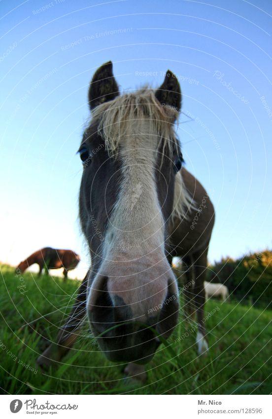 grasende Pferde Weide Gras Wiese grün Ponys Nüstern Mähne Borsten Neugier nah Weitwinkel Froschperspektive Pferdekopf Tier Säugetier vorwitzig Nahaufnahme Rasen