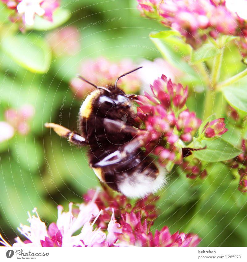 hangover Natur Pflanze Tier Frühling Sommer Schönes Wetter Blatt Blüte Kräuter & Gewürze Thymian Majoran Oregano Garten Park Wiese Wildtier Tiergesicht Hummel