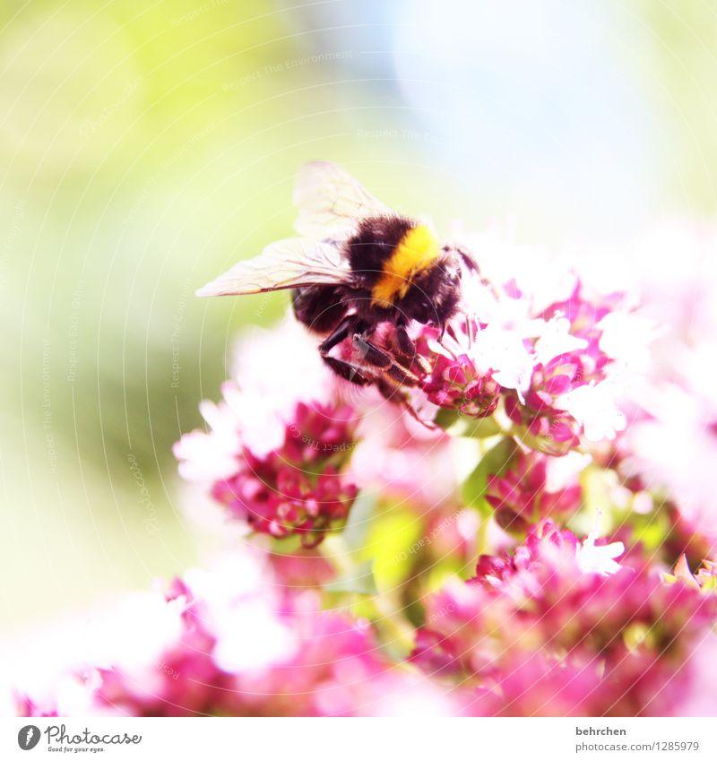 hummel statt schmetterling Natur Pflanze Sommer Blume Blatt Tier Blüte Frühling Wiese Garten fliegen Park Wildtier Flügel Blühend Schönes Wetter