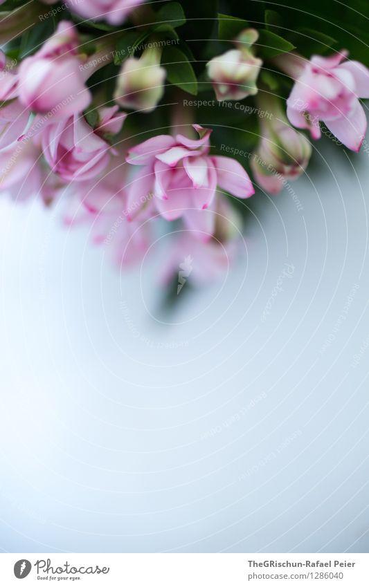 Blumig Natur Pflanze grau violett rosa schwarz silber weiß Blume Blüte Dekoration & Verzierung verschönern aufgehen Detailaufnahme Blatt grün Wachstum Farbfoto