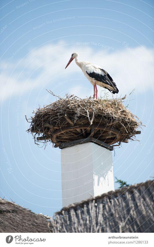 Storch im Nest Haus Natur Himmel Wolken Sommer Schönes Wetter Dorf Fischerdorf Dach Tier Wildtier Vogel Federvieh 1 Nestbau Schilfrohr Holz Blick stehen