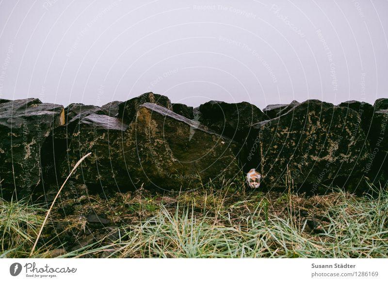 hej hej mrs. cat Haustier Katze warten verstecken Mauer Island Tigerkatze geheimnisvoll Gedeckte Farben Außenaufnahme Schatten Ganzkörperaufnahme