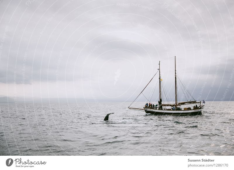 hej whale Meer Schwimmen & Baden Schifffahrt Island Fischerboot Bootsfahrt Wal Passagierschiff Walfang Ausflugsschiff Walbeobachtung