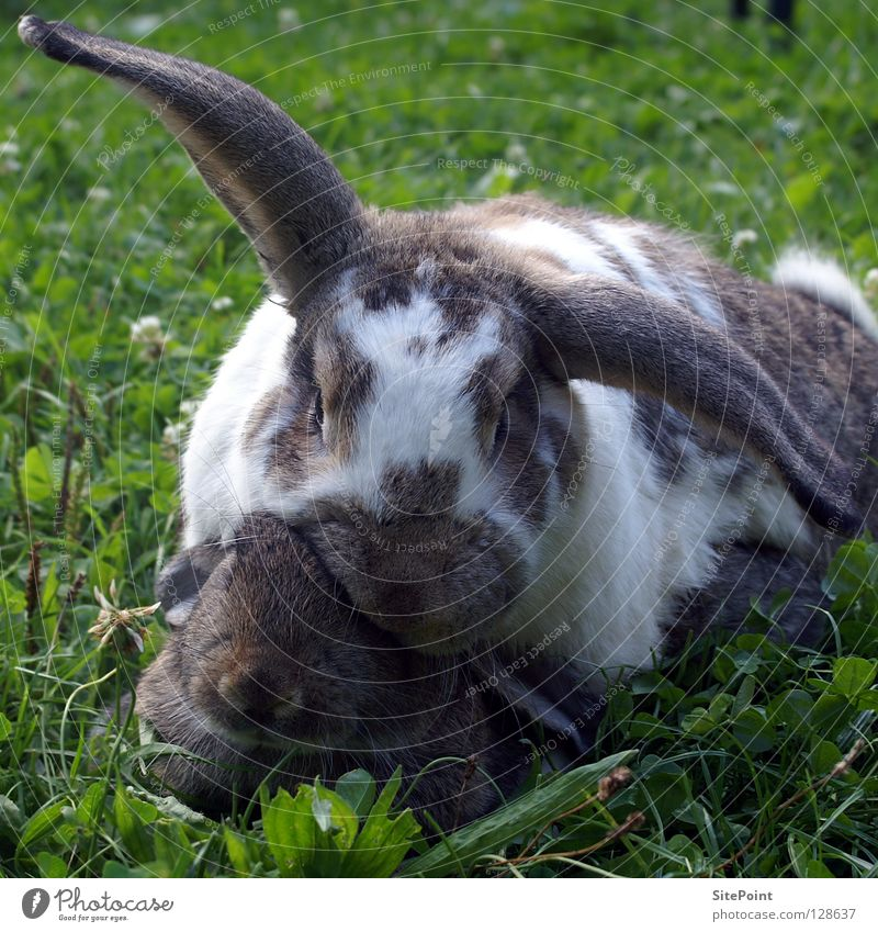 Hasenliebe Liebe Gras süß Säugetier Hase & Kaninchen kuschlig Nagetiere Nachkommen Osterhase Ehe Tier Hängeohr