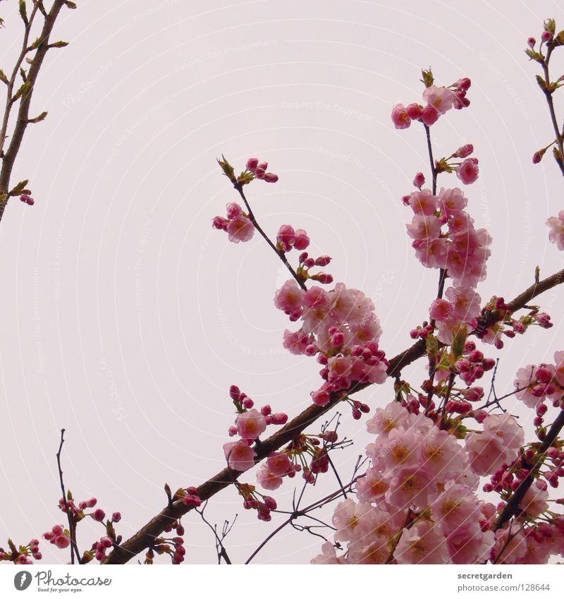Japanische Blütenkirsche (Prunus serrulata) Baum rosa weiß schlechtes Wetter April Wachsamkeit Kirsche Kirschblüten schön Kultur Anmut Frühling Natur