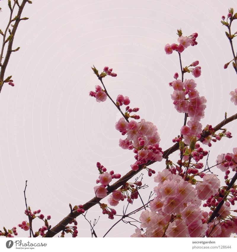 Japanische Blütenkirsche (Prunus serrulata) Himmel Natur weiß schön Baum Pflanze Freude Wolken springen Frühling Park hell rosa hoch Kultur