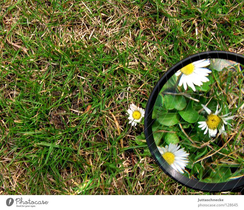Freigeschaufelt Lupe vergrößert Blume Gänseblümchen Gras Frühling groß klein Pflanze Wachstum gewachsen grün weiß gelb niedlich Schneeschmelze Freude Garten