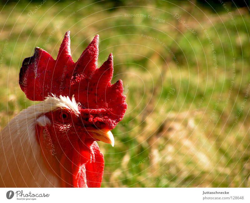 Kikeriki Hahn Haushuhn Hahnenkamm Krähe Bauernhof Feld Vogel grün rot Schnabel Tier Nutztier Kamm Garten fliegen Feder Gockelhahn Juttaschnecke Grillhuhn Hendl