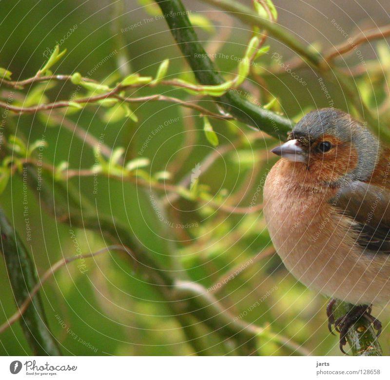 Buchfink Baum Blatt Einsamkeit Garten Vogel Feder Fink