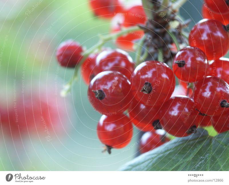 Verführerische Früchtchen rot Frucht lecker Beeren Saison fruchtig