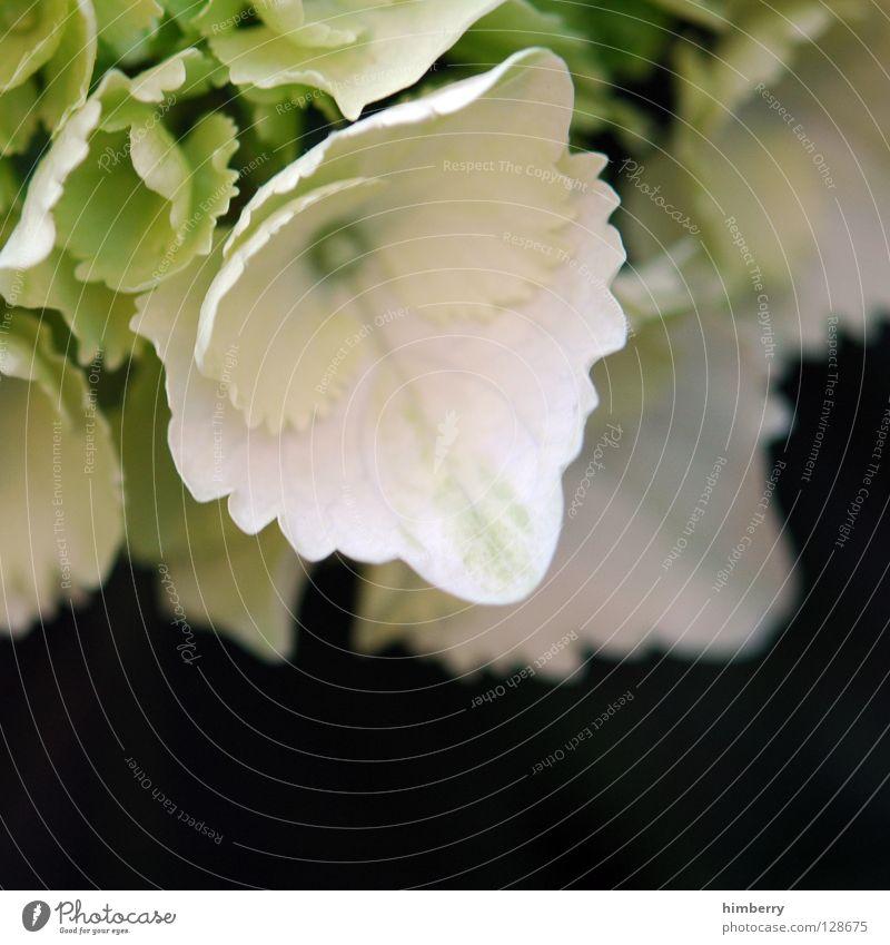 whitelady Blume Blüte weiß Blütenblatt Botanik Sommer Frühling frisch Wachstum Pflanze gelb Hintergrundbild Hortensie Makroaufnahme Nahaufnahme flower