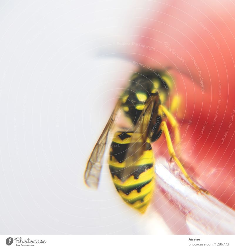 0815 AST | Erdbeer mag ich am liebsten Marmelade Tier Insekt Wespen fliegen Fressen gelb rot schwarz weiß bedrohlich Diebstahl genießen Frühstück entwenden