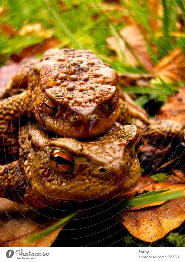 Zu Zweit Krötenwanderung Gras Blatt nass anstrengen Makroaufnahme Nahaufnahme Männlein Krötenpaar Auf der Reise Regen tragen Zukunft sichern