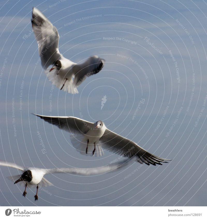 Möwen weiß 3 Wolken See Himmel Vogel blau fliegen Flügel Feder Freiheit Bodensee