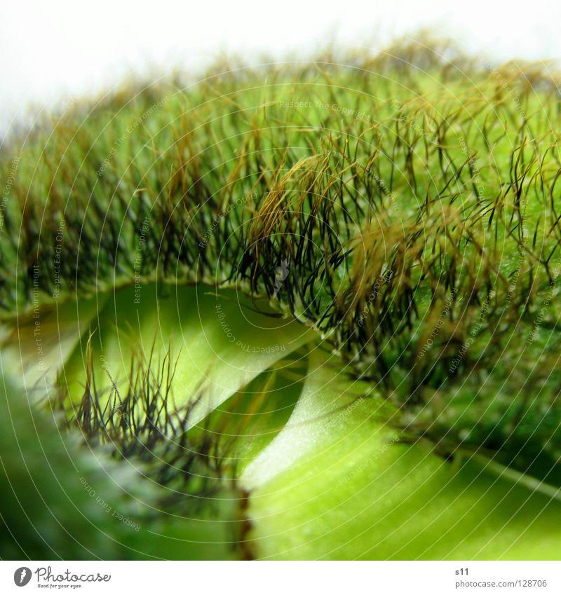 MohnDetail Blume Blüte Pflanze Trennung Ablösung Blütenblatt fein zart Glätte stachelig grün springen Stengel Vergänglichkeit schön entfalten Quadrat verraten