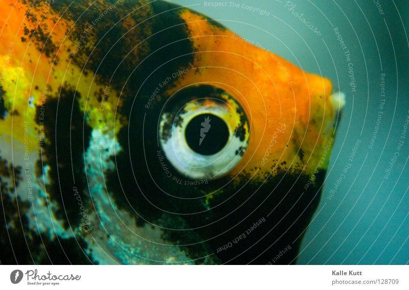 Skalarös Wasser Auge Einsamkeit Fisch Körperhaltung Neugier Appetit & Hunger gefangen Aquarium Planschbecken