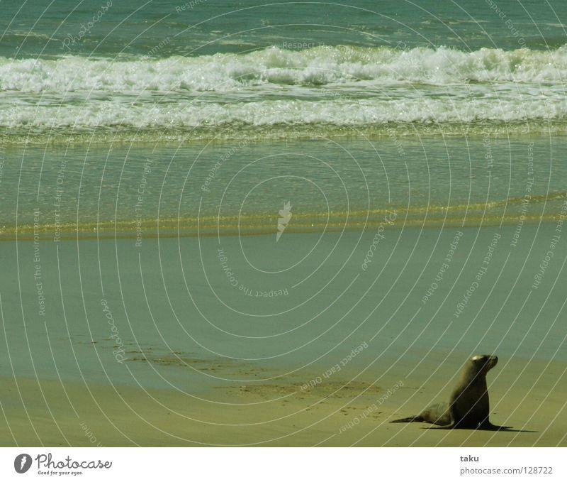 SEAL I Wasser Meer Strand Tier Wellen Geschwindigkeit gefährlich Bucht Angeln Neuseeland durchdrehen Südinsel