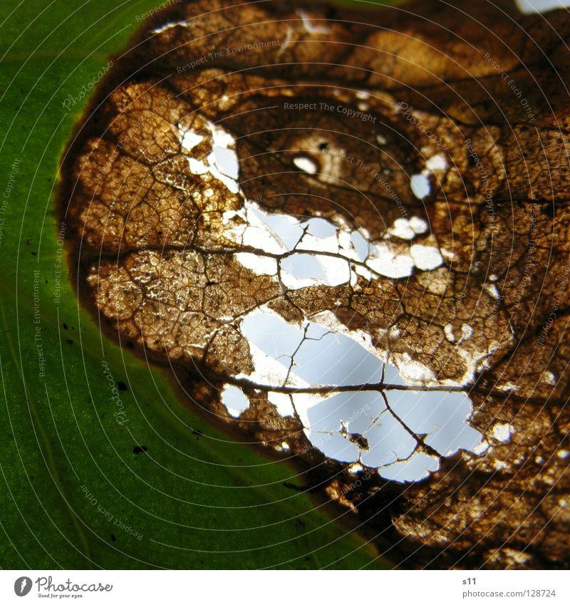 DurchBlick III Blatt Frühling frisch Pflanze gegen Gegenlicht Licht Gefäße grün weiß Baum faszinierend hell Arterien Muster Botanik Leben Photosynthese