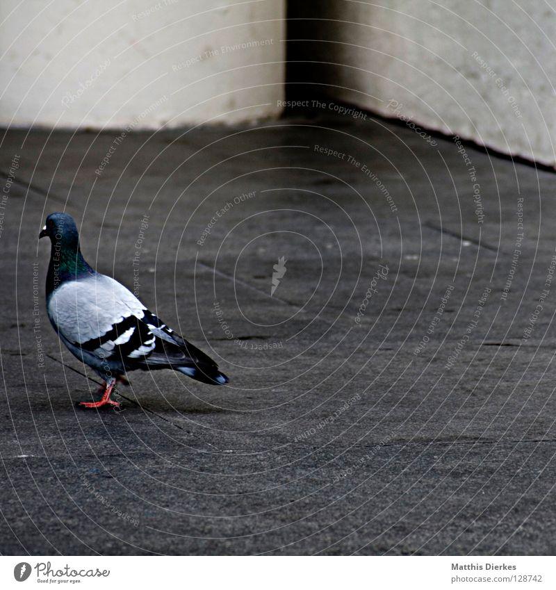 Taube weiß Stadt Tier Straße Stein Gebäude Fuß Vogel dreckig Beton Platz Luftverkehr Flügel Feder Hinterteil Mitte