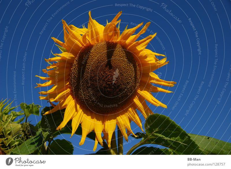 Sonnenblume_1 schön gelb Sommer Physik grün mehrfarbig Futter Blume Außenaufnahme Himmel Klarheit blau Natur Wärme Schönes Wetter Samen Freude Pflanze