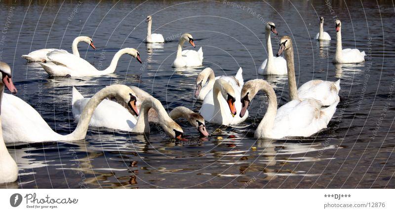 Schwanensee Fressen Vogel füttern See Wasser schöne Tiere Im Wasser treiben Schwimmen & Baden