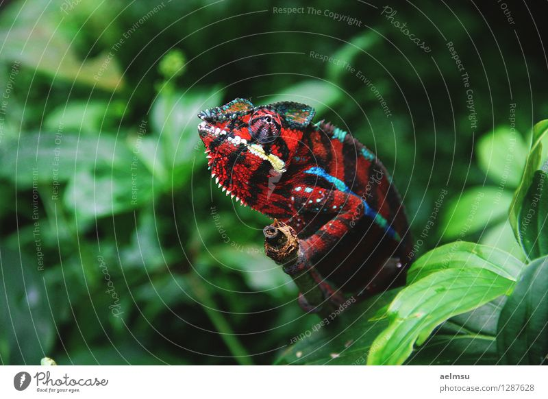 Chamäleon Natur Tier Pflanze Grünpflanze exotisch Urwald Wildtier Zoo 1 grün rot Farbfoto Menschenleer Tag Tierporträt