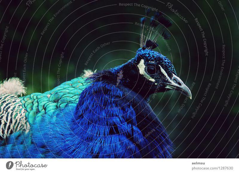 Pfau 1 Tier Wildtier Zoo blau schwarz türkis Farbfoto Menschenleer Tag Tierporträt