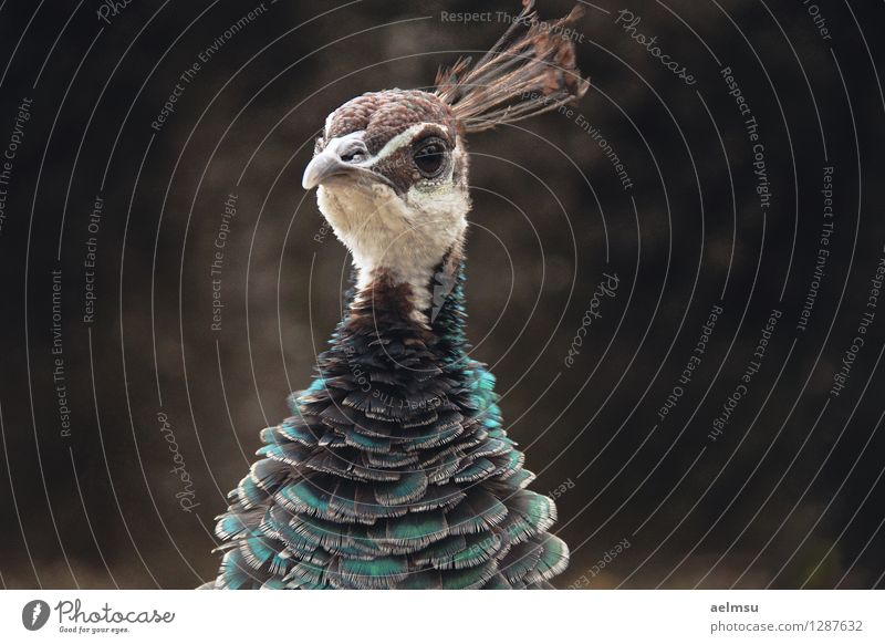 Pfau 2 Tier Wildtier Tiergesicht Zoo 1 braun türkis elegant Farbfoto Menschenleer Tag Tierporträt