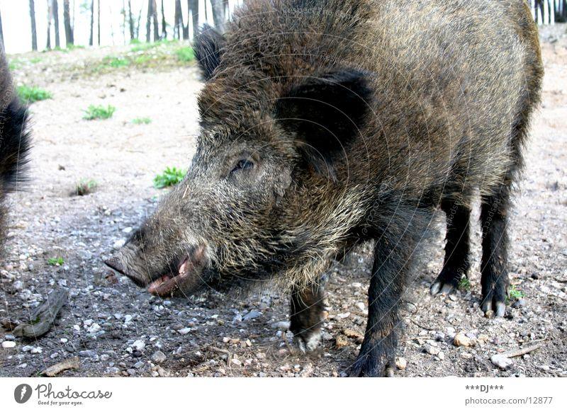 Du WIldsau! Tier Wald groß Sau Schwein Wildschwein Grunzen
