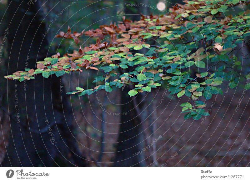 Jahreszeitenwechsel Natur Sommer Herbst Pflanze Baum Blatt Wildpflanze Zweig Zweige u. Äste Buche Buchenblatt Wald braun grün Herbstgefühle Waldstimmung