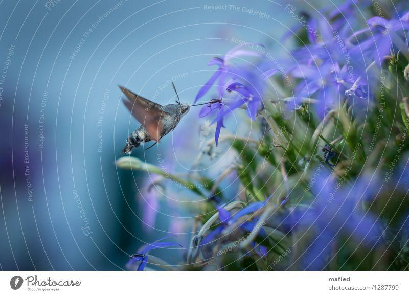 Aushilfskolibri Blume Blüte Tier Wildtier Schmetterling Flügel 1 Blühend fliegen Fressen exotisch blau braun grün violett Nektar Rüssel Schwebeflug Farbfoto