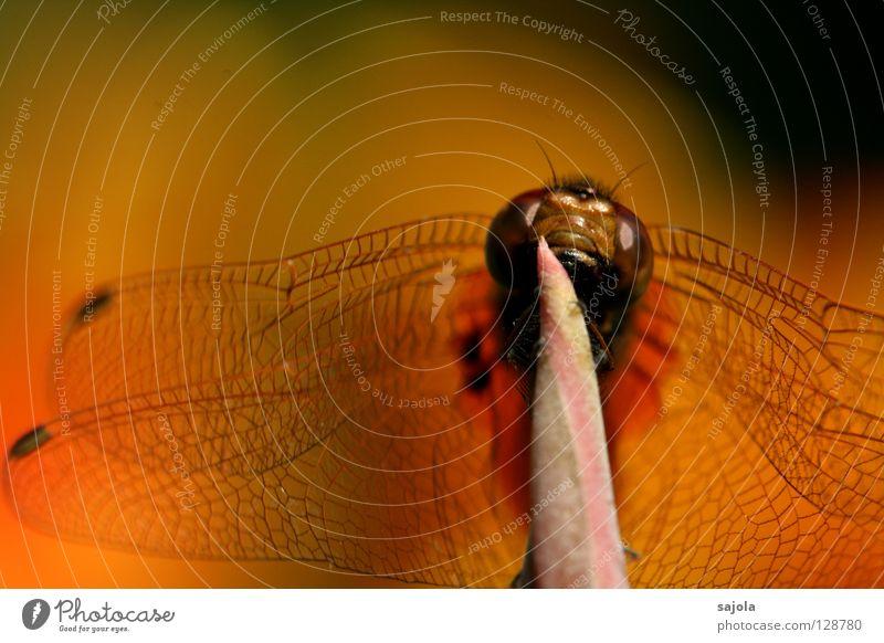 symphonie in orange rot Tier Kopf Flügel Insekt festhalten Wildtier frontal Libelle Blick nach oben Facettenauge bräunlich Libellenflügel