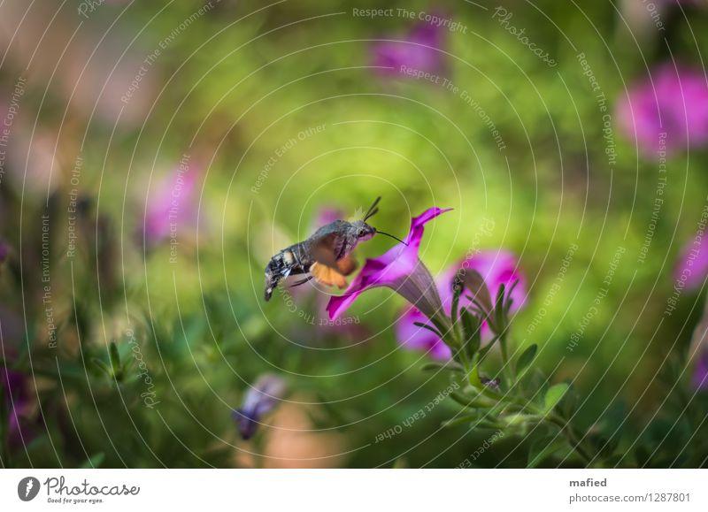 Luftbetankung Natur Pflanze Tier Sommer Blume Blüte Garten Schmetterling 1 braun grün rosa Farbfoto Außenaufnahme Menschenleer Tag Schwache Tiefenschärfe