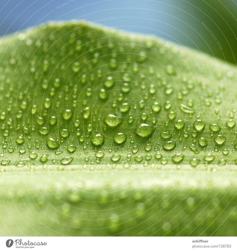 Lemon Line II grün schön Pflanze Frühling Gesundheit Hintergrundbild nass frisch Wassertropfen Wellness Erfrischung Urwald Tau Blume Grünpflanze Zimmerpflanze