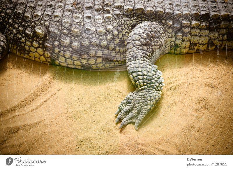 Alligator exotisch schön Tourismus Abenteuer Safari Zoo Sand Tier Wildtier Schuppen Krallen 1 gehen laufen liegen gigantisch groß gelb Krokodil Beine Panzer