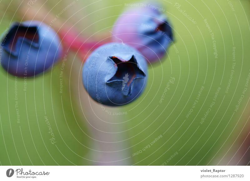 Heidelbeeren - blueberries Frucht Blaubeeren Beeren Sommer Pflanze hängen warten ästhetisch frisch Gesundheit lecker rund süß blau grün violett Farbfoto