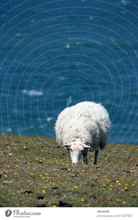 Deichschaf Gras Wiese Küste Meer Tier Nutztier Schaf 1 Fressen Leben Landwirtschaft Farbfoto Außenaufnahme Textfreiraum links Textfreiraum oben Tag Sonnenlicht