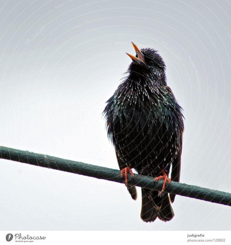 Frühlingslied Natur Tier Farbe Vogel sitzen Feder schreien Schnabel singen Ton Star Gesang Singvögel Gezwitscher