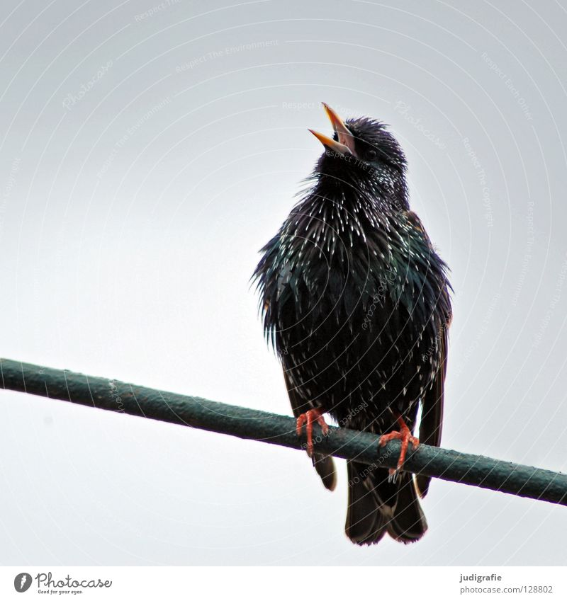 Frühlingslied Natur Tier Vogel schreien sitzen Farbe Gesang singen Ton Gezwitscher Schnabel Feder imitator prachtkleid Star Singvögel Farbfoto Nahaufnahme