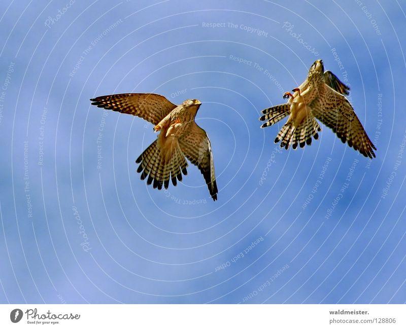 Zwei Falken zwei Himmel Wolken Zusammensein Vogel Tierpaar paarweise Schwanz Umweltschutz Brunft Greifvogel Turmfalke