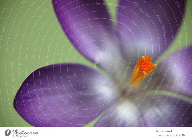 Krokus öffne dich. Blume Frühling Blüte Blühend zart Blütenblatt Stempel aufwachen Krokusse