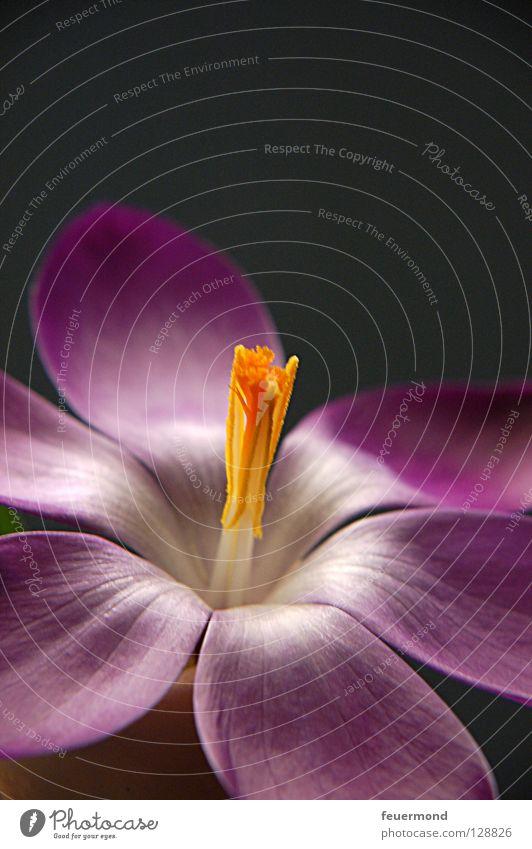 Blick zum Licht Blume Frühling Blüte Blühend aufwachen Krokusse