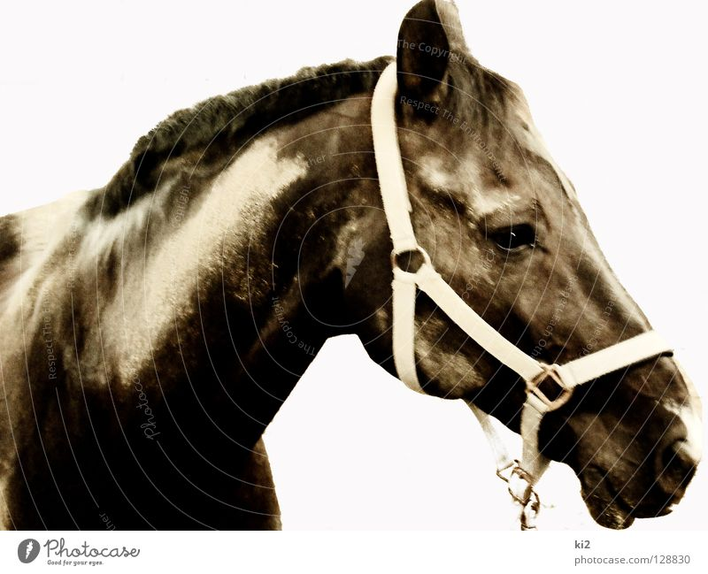 gesicht von heinrich Pferd gefangen Säugetier Erde Sand Freisteller Freiheit dreckig Natur schön Kraft Blick