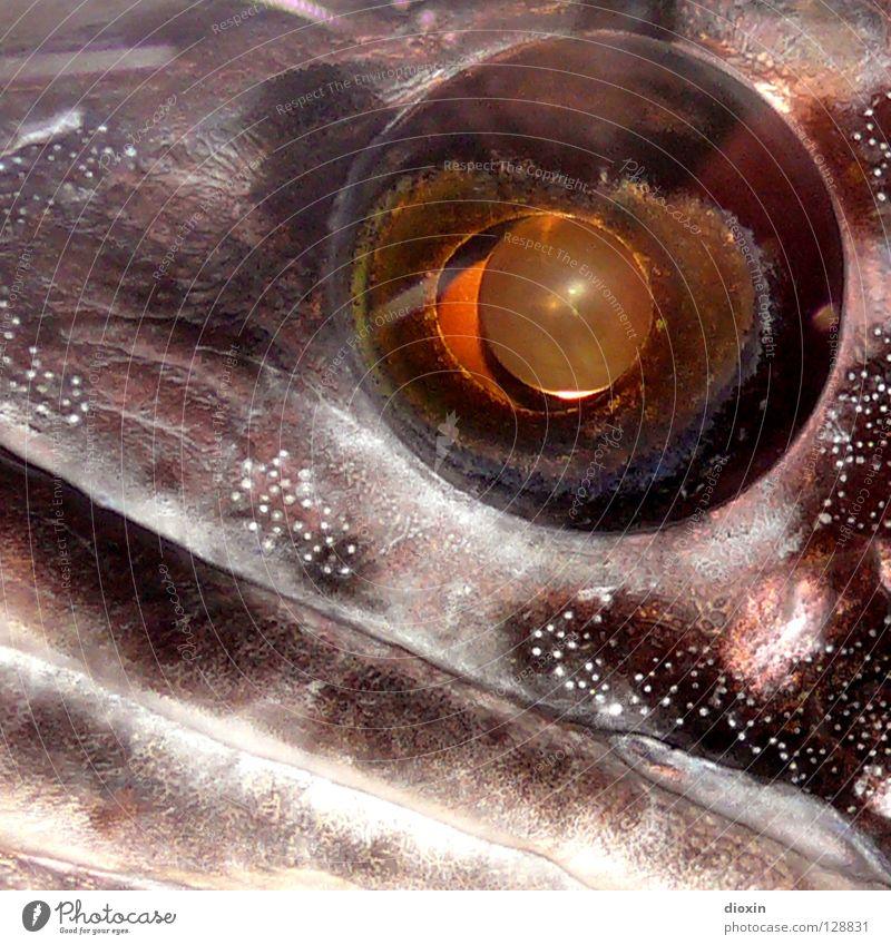 Fisheye Auge glänzend außergewöhnlich Fisch silber unheimlich Pupille Fischauge Silberblick Fischmaul