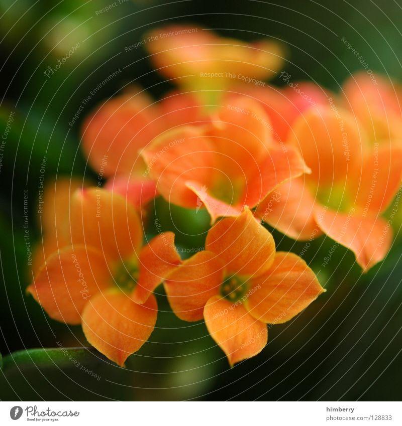 antonia can't stop Natur Pflanze schön grün Farbe Sommer Blume gelb Frühling Blüte Hintergrundbild orange Wachstum frisch Vergänglichkeit Blütenknospen